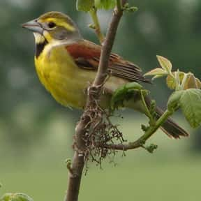 Dickcissel is listed (or ranked) 3 on the list The Funniest Bird Names to Say Out Loud