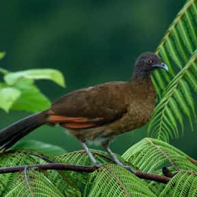 Chachalaca is listed (or ranked) 16 on the list The Funniest Bird Names to Say Out Loud