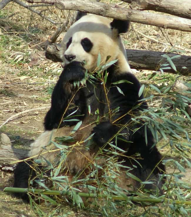 Giant Panda is listed (or ranked) 3 on the list 28 Cute Animals That You Don't Want To Mess With