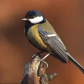 Great Tit is listed (or ranked) 2 on the list The Funniest Bird Names to Say Out Loud