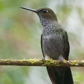 Hoary Puffleg is listed (or ranked) 12 on the list The Funniest Bird Names to Say Out Loud