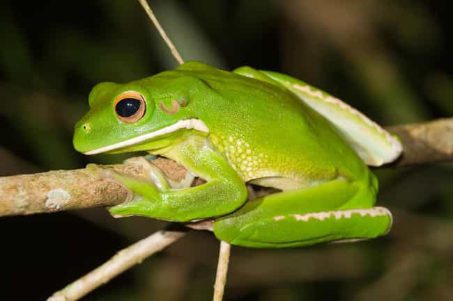 Giant Tree Frog is listed (or ranked) 2 on the list The Most Wonderful & Biggest Frogs In The World