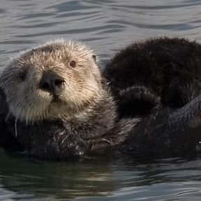 Sea Otter is listed (or ranked) 8 on the list What Sea Creature Do You Want to Be?