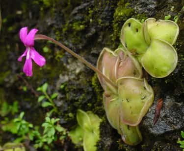 Butterwort is listed (or ranked) 1 on the list 15 Incredible Meat-Eating Plants