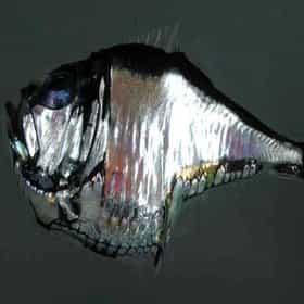 Marine hatchetfish