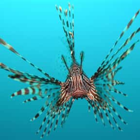 Lionfish is listed (or ranked) 24 on the list What Sea Creature Do You Want to Be?