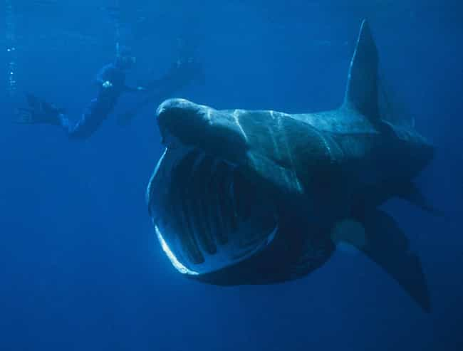 Basking shark is listed (or ranked) 3 on the list The Longest Gestation Periods in the Animal Kingdom