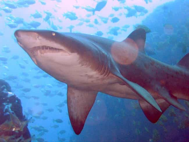 Sand shark is listed (or ranked) 3 on the list Baby Animals That Kill Each Other To Reign Supreme In The Crib