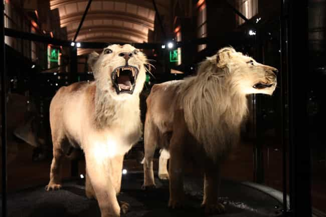 Cape Lion is listed (or ranked) 6 on the list List Of Extinct Big Cats, From Prehistoric Times to Now