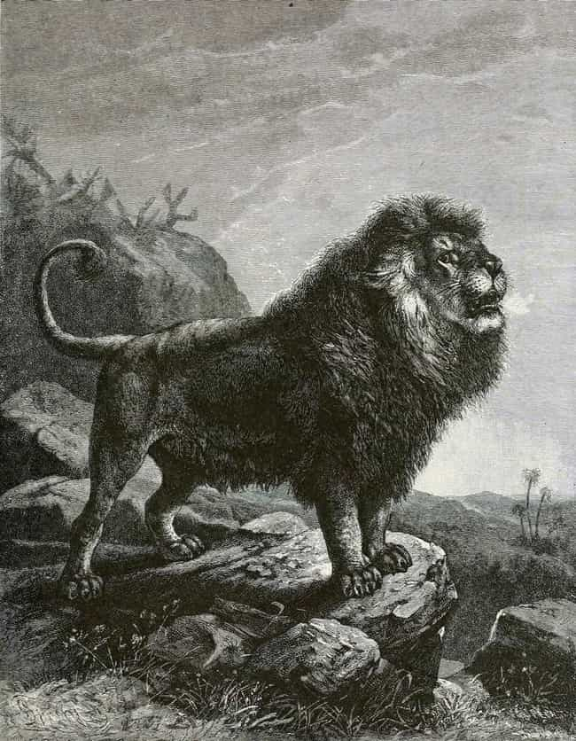 Barbary Lion is listed (or ranked) 3 on the list List Of Extinct Big Cats, From Prehistoric Times to Now