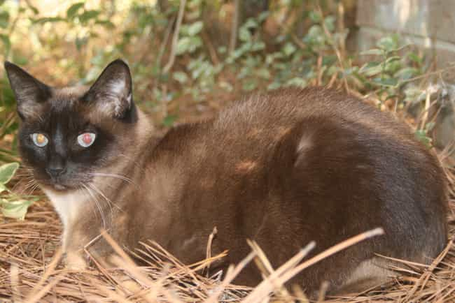 Siamese is listed (or ranked) 4 on the list The Best Hypoallergenic Cat Breeds