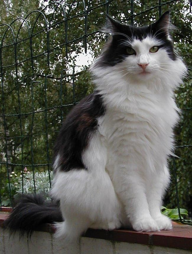 Norwegian Forest Cat Is Listed Or Ranked 8 On The List The Best