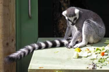 Ring-tailed Lemur is listed (or ranked) 5 on the list Wonderful Animals With The Longest Tails In The World
