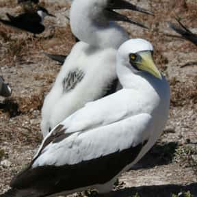 Masked Booby is listed (or ranked) 5 on the list The Funniest Bird Names to Say Out Loud