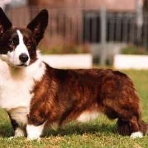 Welsh Corgi is listed (or ranked) 22 on the list The Best Dog Breeds for Families