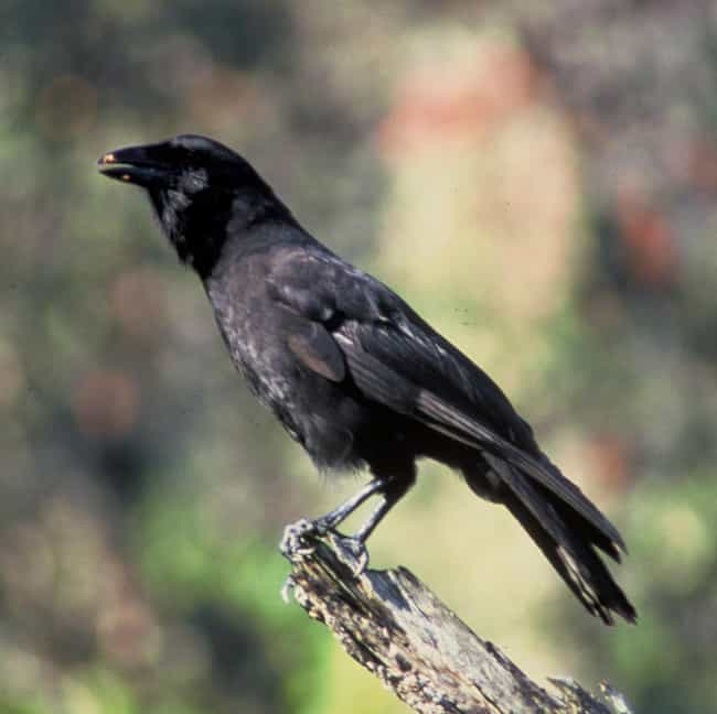 Hawaiian Crow is listed (or ranked) 2 on the list 11 Animals That Use Tools In Insanely Clever Ways
