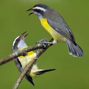 Bananaquit is listed (or ranked) 15 on the list The Funniest Bird Names to Say Out Loud