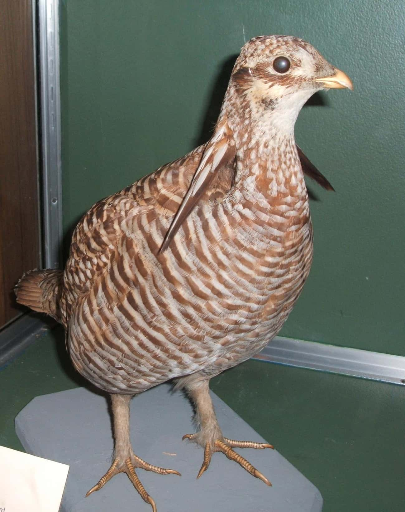 Heath Hen is listed (or ranked) 4 on the list List Of Extinct Birds, From Prehistoric Times To Now