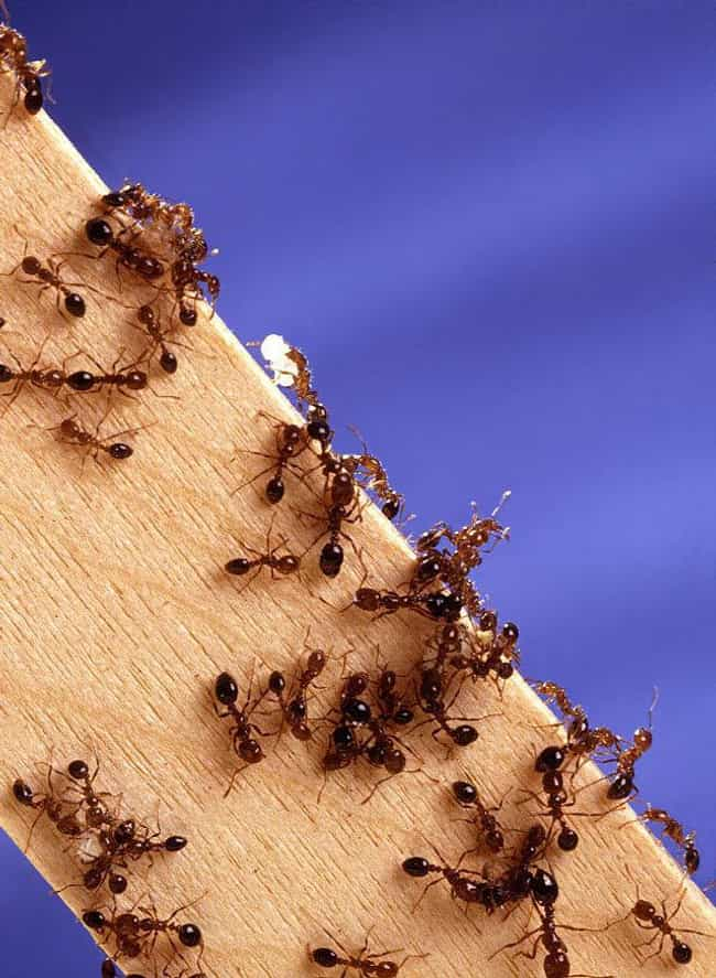 Red imported fire ant is listed (or ranked) 1 on the list The Most Damaging Invasive Species in the World
