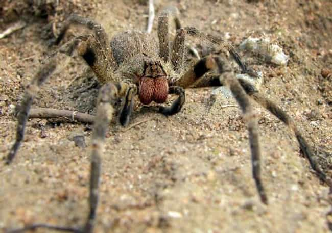 Brazilian wandering spider is listed (or ranked) 3 on the list 12 Of The Craziest Side Effects To Animal Attacks