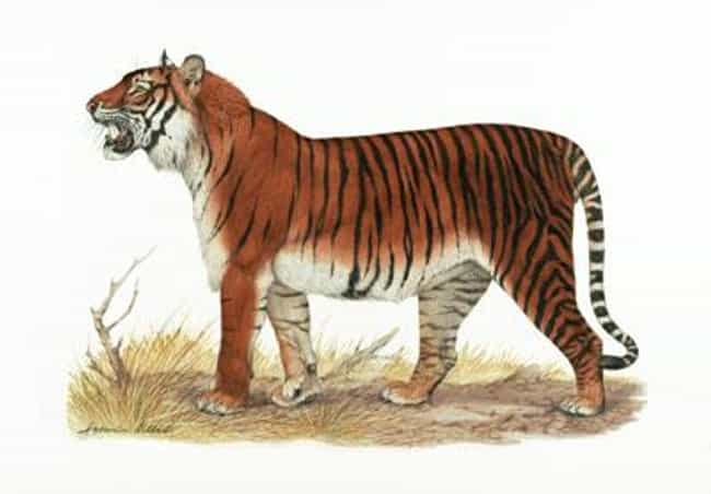 Bali Tiger is listed (or ranked) 5 on the list List Of Extinct Big Cats, From Prehistoric Times to Now