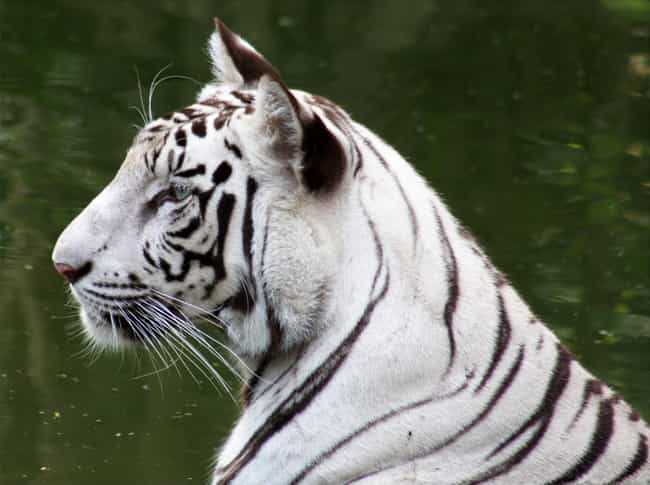 White tiger is listed (or ranked) 1 on the list The World's Most Beautiful Animals