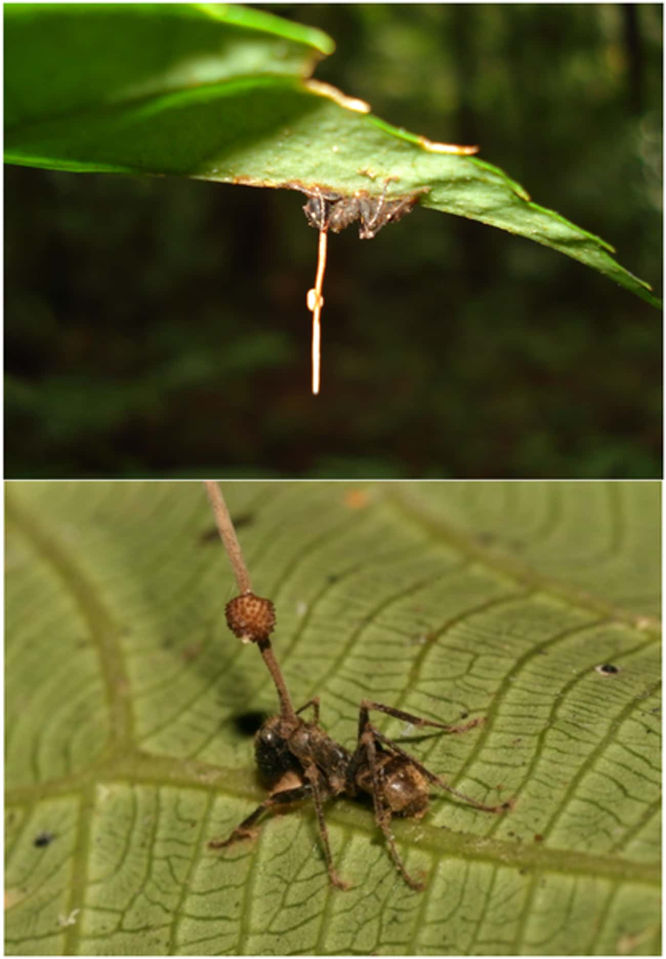 Zombie Ant Fungus is listed (or ranked) 1 on the list The Craziest Parasite Life Cycles