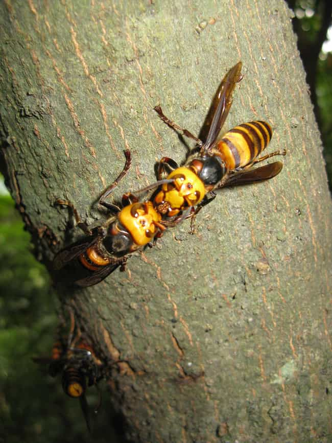Japanese giant hornet is listed (or ranked) 2 on the list 11 Nightmare Creatures You Never Want To Encounter In India