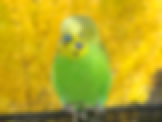 Budgerigar is listed (or ranked) 2 on the list Birds That Make the Best Pets