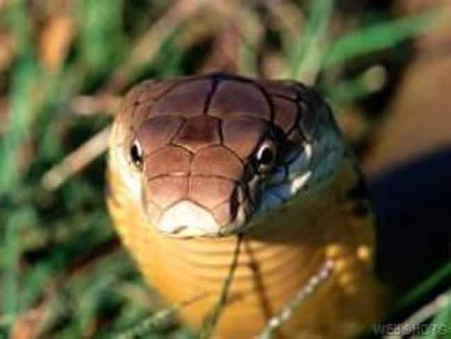 King Cobra is listed (or ranked) 4 on the list 11 Nightmare Creatures You Never Want To Encounter In India