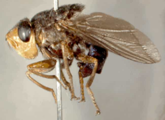 Human bot fly is listed (or ranked) 6 on the list Insects You Hope to Never Encounter