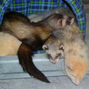 Ferret is listed (or ranked) 20 on the list The Best Pets for Kids