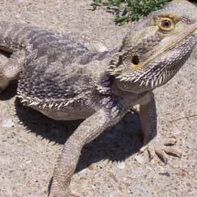 Bearded Dragon is listed (or ranked) 19 on the list The Best Pets for Kids