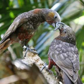 Kākā is listed (or ranked) 14 on the list The Funniest Bird Names to Say Out Loud