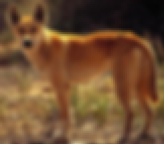 Dingo is listed (or ranked) 6 on the list 28 Cute Animals That You Don't Want To Mess With