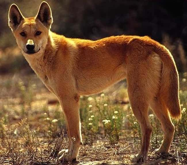 Dingo is listed (or ranked) 7 on the list 28 Cute Animals That You Don't Want To Mess With