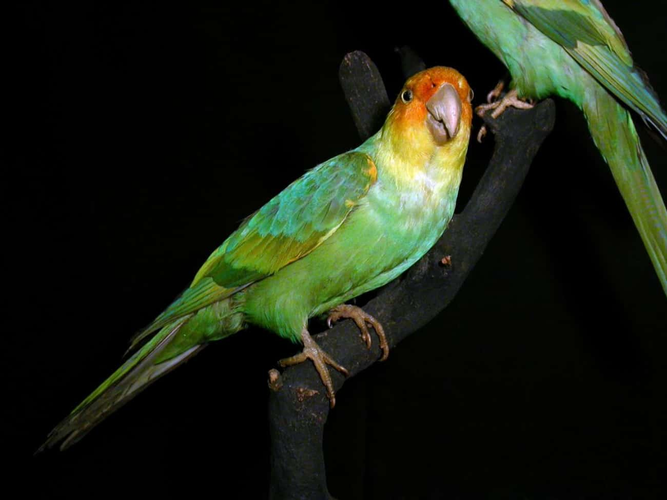 Carolina Parakeet is listed (or ranked) 3 on the list List Of Extinct Birds, From Prehistoric Times To Now