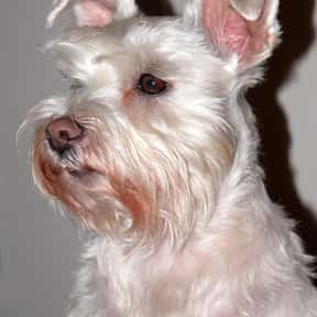White schnauzers is listed (or ranked) 15 on the list The Best Dogs for Seniors