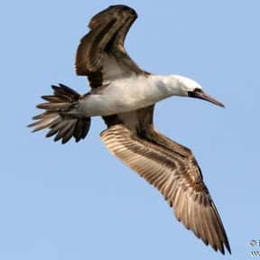 Peruvian Booby is listed (or ranked) 22 on the list The Funniest Bird Names to Say Out Loud