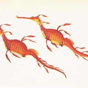 Weedy sea dragon is listed (or ranked) 21 on the list What Sea Creature Do You Want to Be?