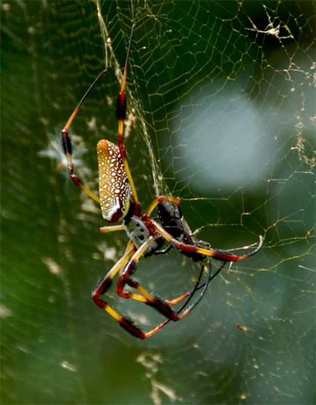 Golden silk orb-weaver ... is listed (or ranked) 8 on the list Insects You Hope to Never Encounter