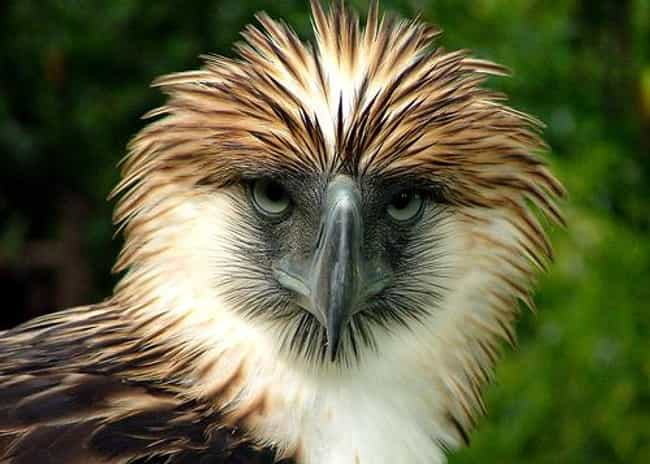 Philippine Eagle is listed (or ranked) 2 on the list The Most Interesting Birds on Earth