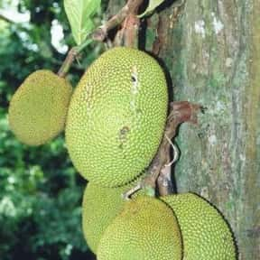 Jackfruit is listed (or ranked) 21 on the list The Best Tropical Fruits