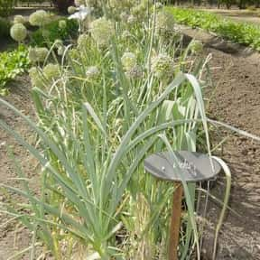 Leek is listed (or ranked) 22 on the list The Best Garden Vegetables to Eat