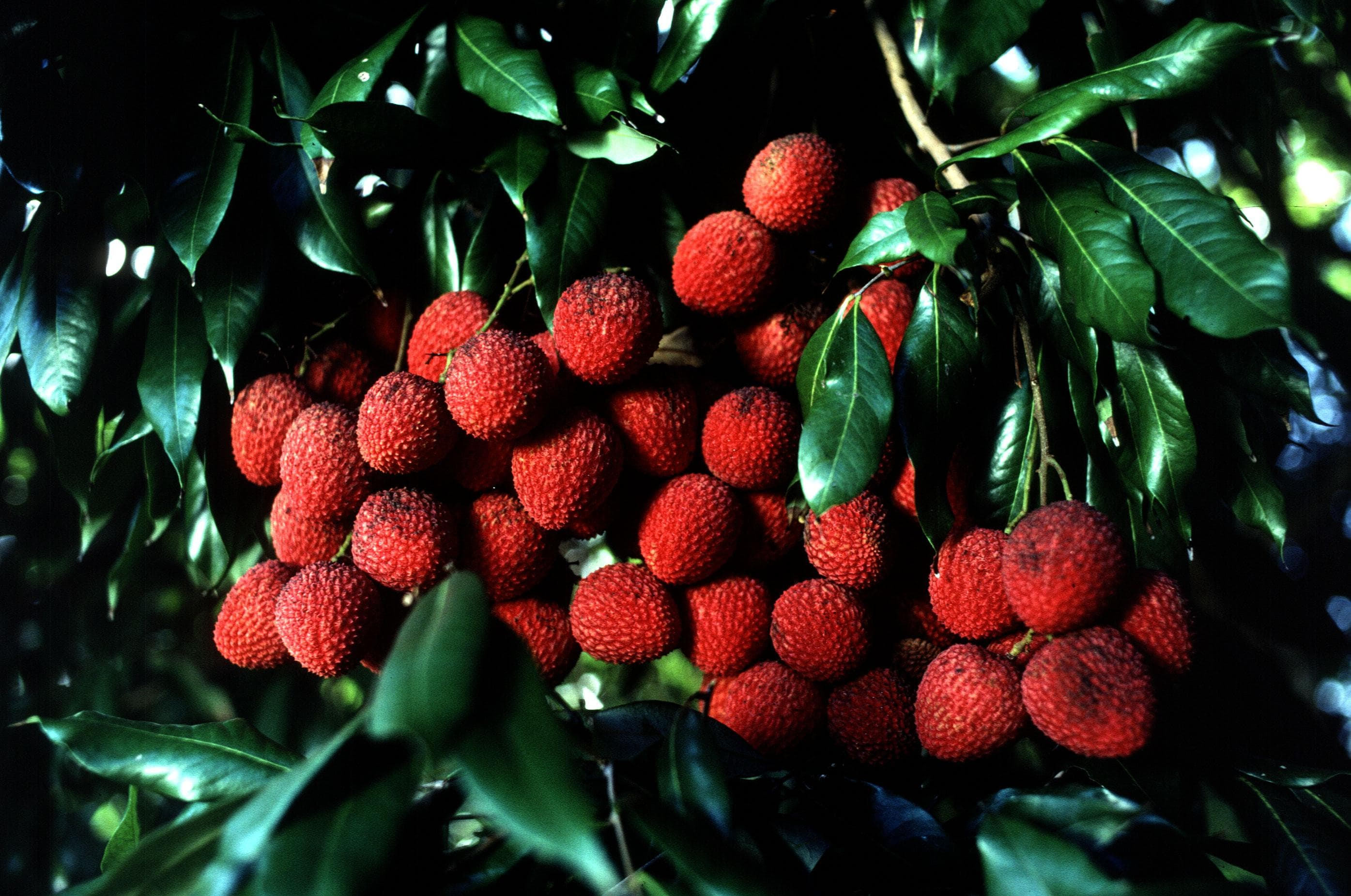 Lychee on Random Best Tropical Fruits