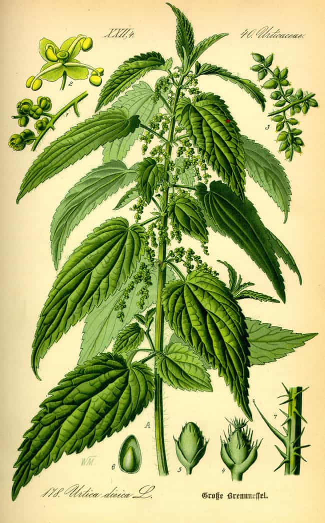 Nettle is listed (or ranked) 1 on the list 12 Common Plants To Avoid While Camping And Hiking