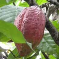 agawani cocoa