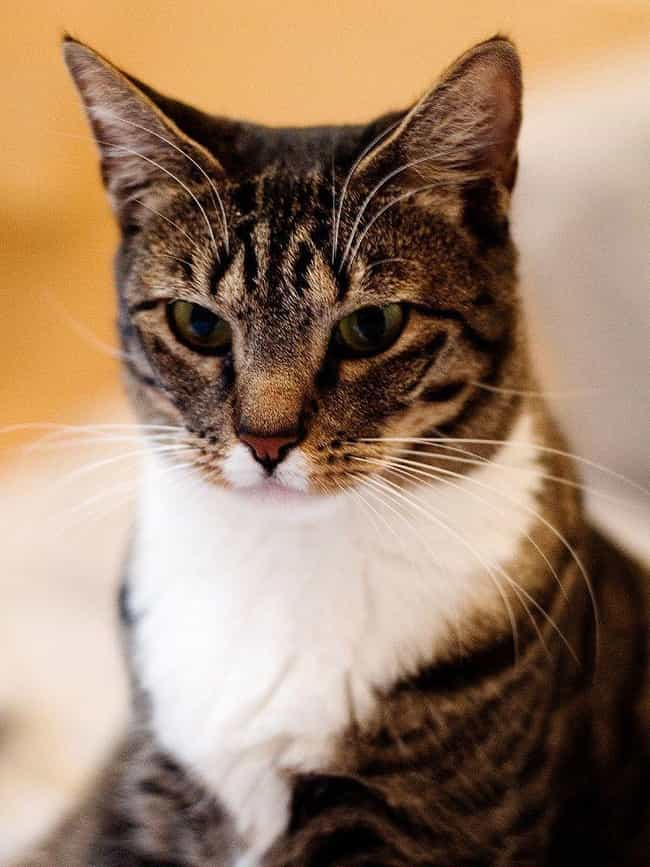 The American Shorthair C... is listed (or ranked) 1 on the list The Best Short Hair Cat Breeds