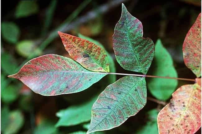 Sumac is listed (or ranked) 4 on the list 12 Common Plants To Avoid While Camping And Hiking