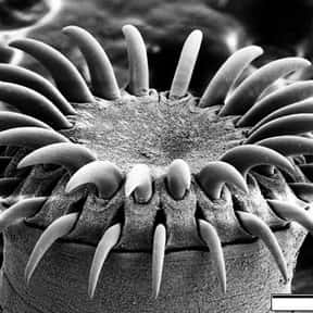 Tapeworm is listed (or ranked) 8 on the list The Scariest Animals in the World